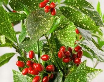 Aucuba Japonica Variegata or Gold Dust Aucuba Plant in 2 inch pots