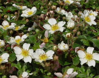 Strawberry Ornamental LIve Plant - Groundcover Live Plants From Plug
