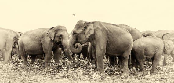 SRI LANKAN ELEPHANTS.  Elephants Print, Sri Lanka, Giclee Print, Limited Edition Print, Photographic Print