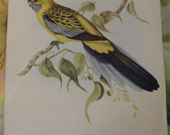 Antique Chromolithograph print Board 1950.Platycercus Flaveolus, large parakeet in yellow from Australia J.Gould published 1950 belly