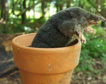 Taxidermy Mole