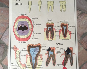 ROSSIGNOL Vintage French School Poster anatomy Two Sides TEETH 03021815