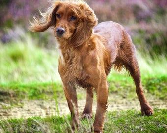 Windswept Spaniel