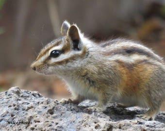 Digital photo, backyard wildlife, northern Arizona, chipmunk pausing to check for safety