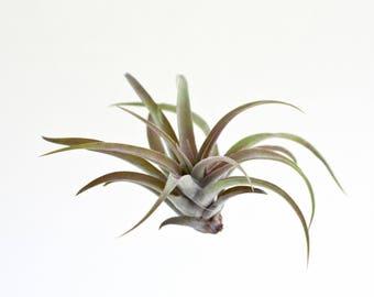 Luftpflanze Tillandsia Capitata Peach Red | Exostiche Schöne Pflanze | Dekoidee Gechenkidee Pflanze Lose