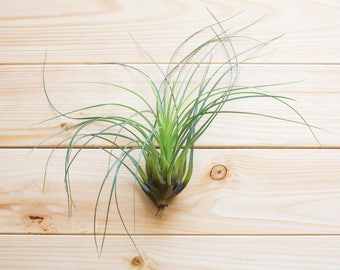 Air Plant, FREE SHIPPING, Tillandsia Punctulata, Terrarium Air Plant, Plant Gift, Airplant, Air Plant, House Plant, Indoor Plant, Home Decor