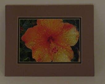 Hibiscus#1 (photo)