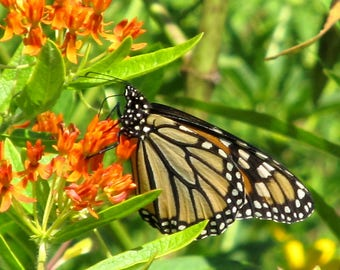 Butterfly Milkweed Seed / 20 Seeds / Wildflower Seed / Asclepias tuberosa Seed / Orange Flowers / Monarch Butterfly / Native Perennial Seeds