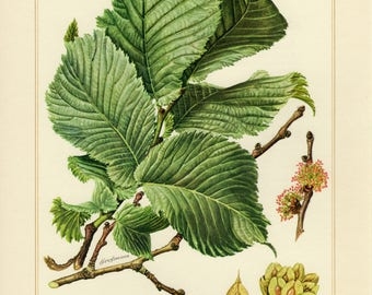 Vintage lithograph of wych elm or Scots elm from 1958
