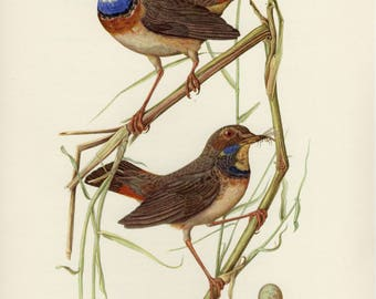 Vintage lithograph of the white-spotted bluethroat from 1953