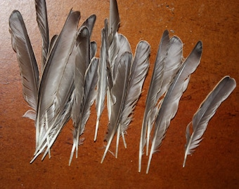 natural feathers of Starling, beautiful reflection at the end of the feather