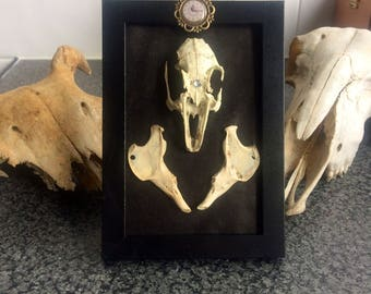 Taxidermy frame rabbit skull and jaw