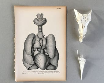 Anatomical Heart Print Antique Anatomy Wall Art Poster Print Vintage Anatomy Medical Student Gift Chiropractic Doctor Gift Anatomical Chart