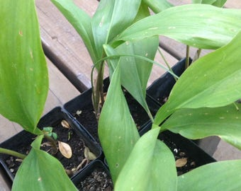 3 Live LILY of THE VALLEY Plants Well Rooted Quality Starter Perennial Herb