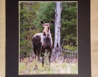Bull Moose in the Springtime