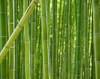 Nature photography. Bamboo Trees