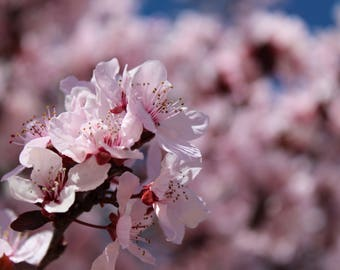Japanese Cherry Blossoms Bundle