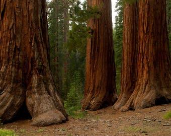 Mariposa grove Yosemite national park California sequoia trees giant