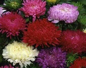 Aster- Paeony Duchess- Mixed- 50 Seeds