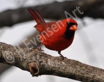 Cardinal 5x7 Fine Art Print