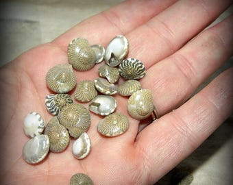Save25% Umboniums-Miniature polished shells for terrariums-Vivariums-Weddings-Craft Projects and More 2x3 bag