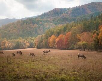 Grazing Elk - Cataloochee, NC