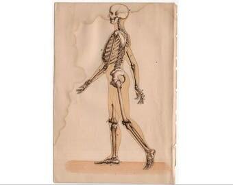 c. 1884 HUMAN ANATOMY PRINT - skeletal system -  bones skull - antique medical print - physiology medical illustration - skeleton body