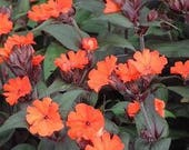 "Lychnis ""Orange Gnome"" (zwerg) .. 25 seeds"