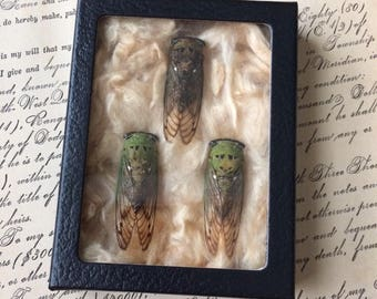3 Found Dried Real Cicada Boxed Under Glass To Admire Or Create With