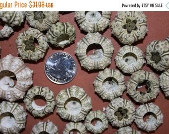 "12% OFF 30)pcs SMALL Green Knobby Urchin free shipping! 1"" to 1 1/2"" small sea urchin, shell craft, green urchin, craft supplies"