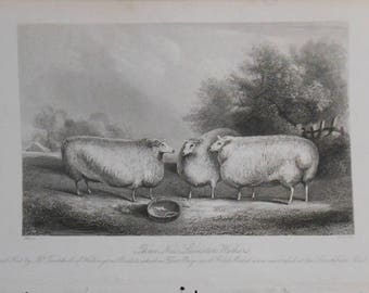 vintage engraving of three new Leicester wethers  ca 1841