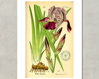 Iris Botanical Print, 1885 - 8.5 x 11 Print -  also available in 11x14 and 13x19 - see listing details