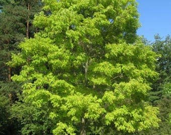 100 Black Locust Tree Seeds, Robinia Pseudoacacia