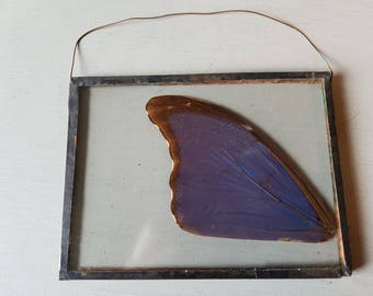 Pretty taxidermy butterfly wing hanging