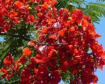 7 Seeds Flame Tree From Madagascar Stunning Red Flower clusters Tropical for indoors or out Attracts Butterflies Hummingbirds Delonix regia