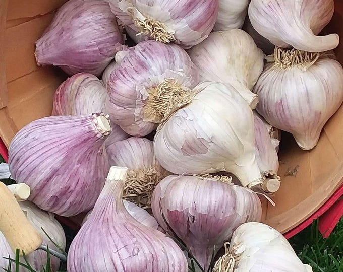 Chesnok Red Garlic Bulbs Organic Grown Gourmet 1/2 pound For Planting or Cooking Fall Shipping Non-GMO
