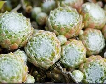 Cobweb Houseleek, Spider Web Hens Succulents and Chicks 'Cebenese' (Sempervivum arachnoideum) Hairy White Spider Net Green Succulents