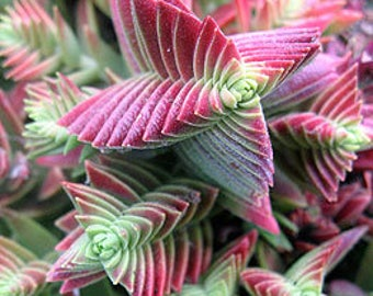 Crassula Capitella Red Pagoda Succulent Crassula corymbulosa Trees Shark's Tooth Plants Rare Succulent, Origami Shape Plants