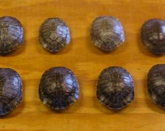 "8 - 4"" Red Ear Slider Turtle Shells"