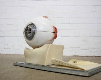 Mid Century Anatomical Model Of Eye Circa 1950s