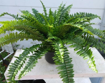 Artificial Boston fern potted plant