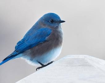 Fine Art Photograph, Virginia Bluebird