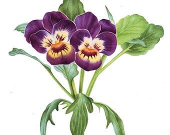 Viola Original Watercolor Art