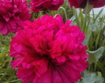 Papaver Somniferum 250 seeds, Double Pink color