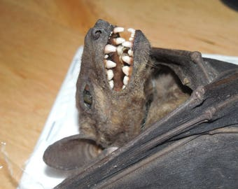 ROUSETTUS LESCHENAULTI Hanging Real Bat Taxidermy
