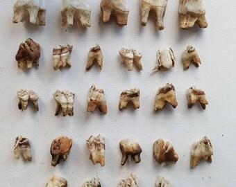 Jar of Deer Teeth