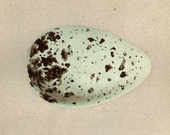 1853 Antique Bird Eggs Print Natural History Egg Wall Art Natural History Nests Eggs British Birds Brunnich Guillemot