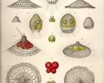 Ernst Haeckel artwork Radiolaria1862 Digital instant download vintage print Printable wall art poster Kitchen Office Scrapbook Background