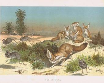 antique print Fennec Fox 1892