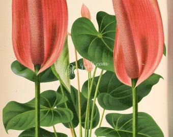 flowers-25696 - anthurium lindenianum botanical plant digital vintage printable graphics floral pink red flowers picture 300 dpi scan jpg